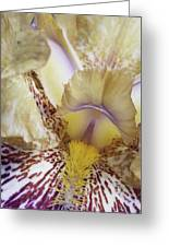 Cream And Purple Iris Greeting Card