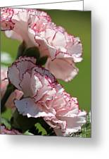Creamy White With Red Picotee Carnation Greeting Card
