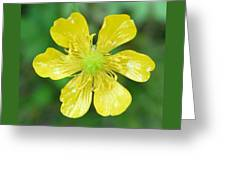 Creeping Buttercup Greeting Card