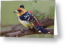 Crested Barbet Greeting Card