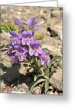Crested Beardtongue Greeting Card