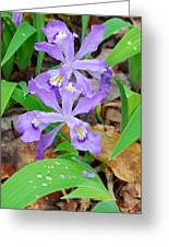 Crested Dwarf Iris Greeting Card
