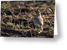 Crested Lark Greeting Card