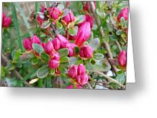 Crimson Azalea Buds Greeting Card