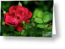 Crimson Red Rose By Kaye Menner Greeting Card
