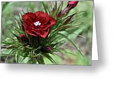 Crimson Velvet  Greeting Card