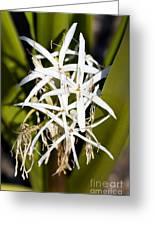Crinum Spiderlily Flower Greeting Card
