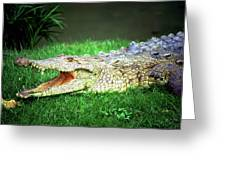 Crocodylus Acutus Greeting Card