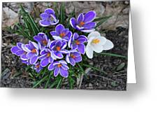 Crocus 6675 Greeting Card