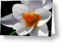 Crocus Blossom Greeting Card