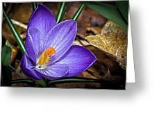 Crocus Emerging Greeting Card