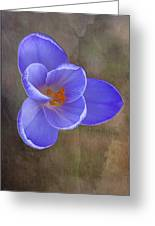 Crocus Focus Stacked 3 Greeting Card
