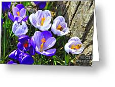 Crocus Tommasinianus Greeting Card