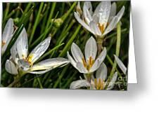 Crocus White Flowers Greeting Card