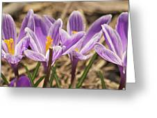 Crocuses 2 Greeting Card