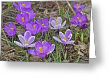 Crocuses 5 Greeting Card