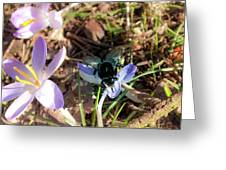 Crocuses And Fly Greeting Card