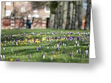 Crocuses At Hampton Court London Uk Greeting Card