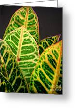 Croton Leaves In Profile Greeting Card