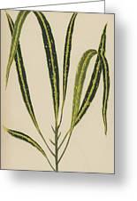 Croton Variegatum Angustifolium Greeting Card