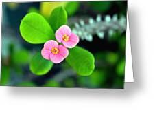 Crown Of Thorns Flowers Greeting Card