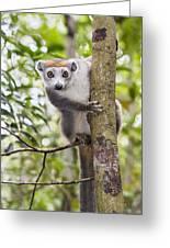 Crowned Lemur Madagascar Greeting Card