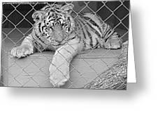 Cubs Greeting Card