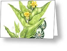 Cucurbita Foetidissima Greeting Card