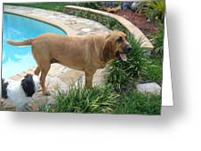 Cujo And Lucky By The Pool Greeting Card