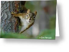 Curious Alaskan Red Squirrel Greeting Card