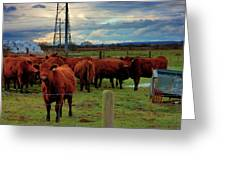 Curious Cattle Greeting Card
