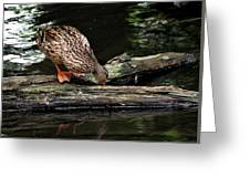 Curious Duck Greeting Card