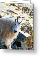 Curious Goat On The Mount Massive Summit Greeting Card