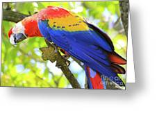 Curious Macaw Greeting Card