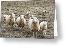 Curious Sheep Greeting Card