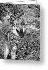 Curious Wolf Pup Greeting Card