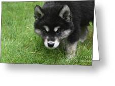 Curiousity Filled Look In The Face Of An Alusky Greeting Card