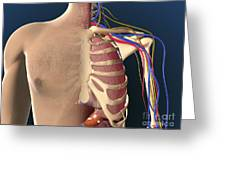 Cutaway View Of Male Chest Showing Lung Greeting Card