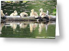 Cute Canadian Geese Chicks Greeting Card