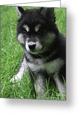 Cute Fluffy Alusky Puppy Sitting Up In A Yard Greeting Card