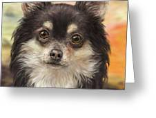 Cute Furry Brown And White Chihuahua On Orange Background Greeting Card