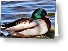 Cute Male Mallard Duck Greeting Card