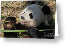 Cute Panda Bear With Very Sharp Teeth Eating Bamboo Greeting Card