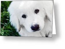Cute White Puppy Dog Portrait. Polish Tatra Sheepdog Greeting Card