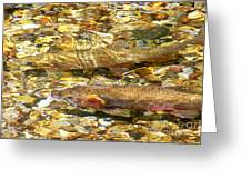 Cutthroat Trout In Clear Mountain Stream Greeting Card