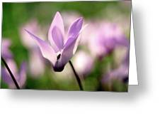 Cyclamen Persicum Persian Violets Greeting Card
