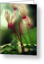 Cyclamens Greeting Card