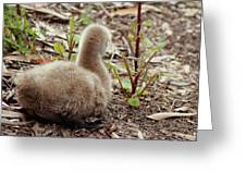 Cygnet I Greeting Card