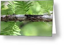 Cypress  Branch Greeting Card