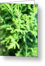 Cypress Leaves Close Up Greeting Card